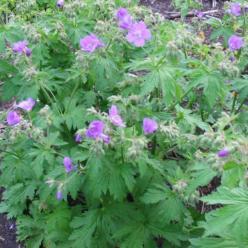 Geranium sylvaticum 'Mayflower' - Ooievaarsbek