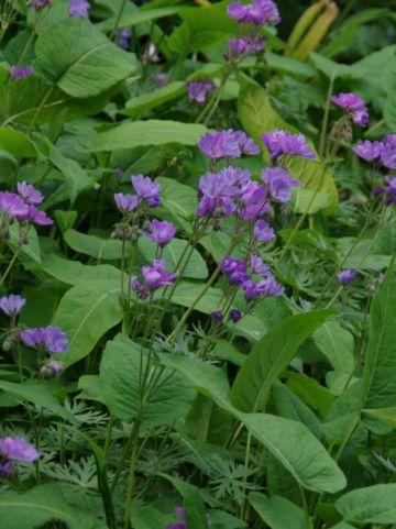 Geranium tuberosum - Ooievaarsbek