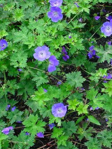 Geranium wallichianum 'Buxton's Variety' - Ooievaarsbek