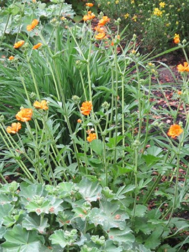 Geum  'Prinses Juliana' - Nagelkruid