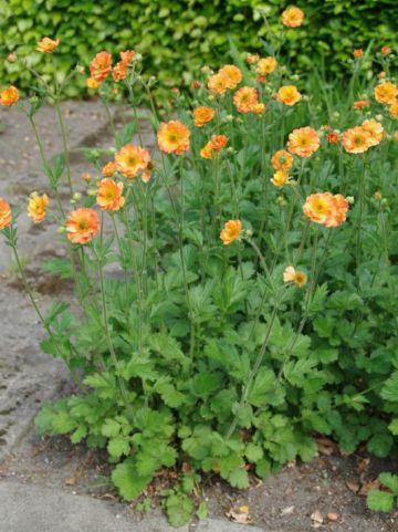 Geum  'Totally Tangerine' - Nagelkruid