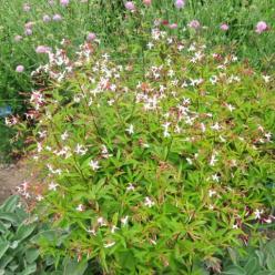 Gillenia trifoliata - Gillenia