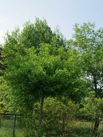 Ginkgo biloba 'Tit' - Japanse notenboom