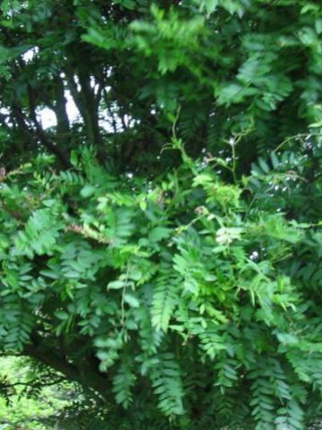 Gleditsia triacanthos 'Elegantissima' - Valse christusdoorn