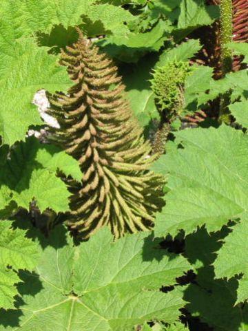 Gunnera manicata - Mammoetblad, reuzenrabarber