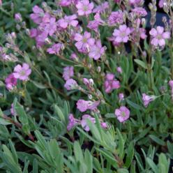 Gypsophila repens 'Rosea' - Kruipend gipskruid