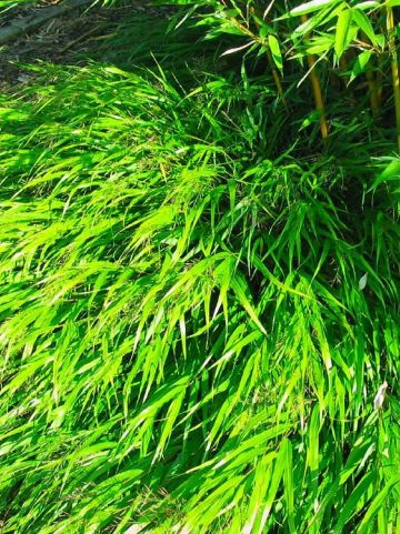 Hakonechloa macra  - Japans bosgras