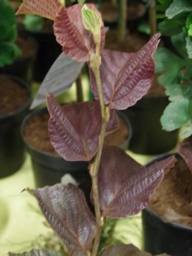 Hamamelis × intermedia 'Yamina' - Toverhazelaar