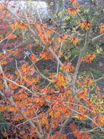 Hamamelis × intermedia  'Aphrodite' - Toverhazelaar