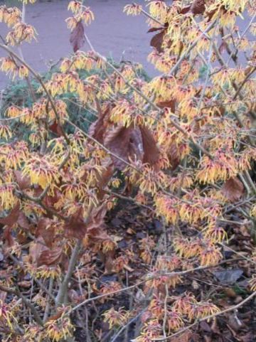 Hamamelis × intermedia  'Aurora' - Toverhazelaar