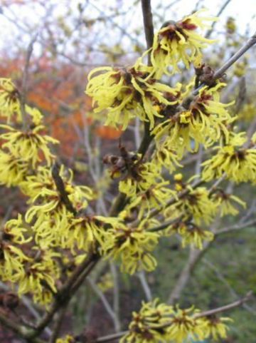 Hamamelis × intermedia  'Double Gold' - Toverhazelaar