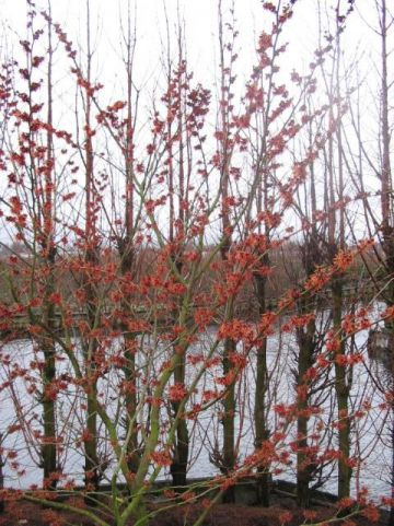 Hamamelis × intermedia  'Feuerzauber' - Toverhazelaar