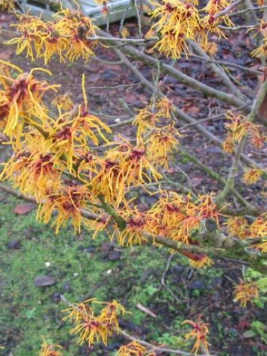 Hamamelis × intermedia  'Old Copper' - Toverhazelaar