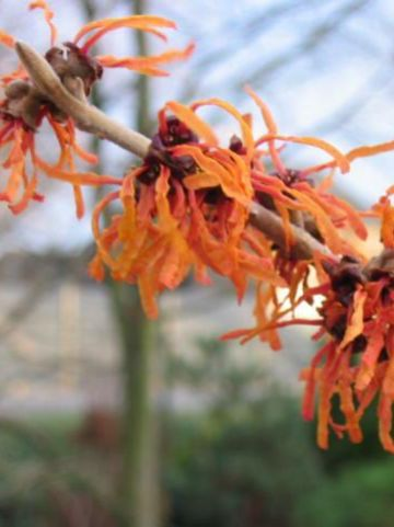 Hamamelis × intermedia  'Orange Beauty' - Toverhazelaar