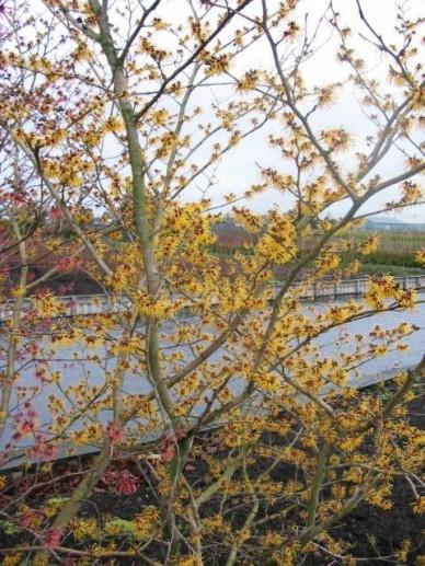 Hamamelis × intermedia  'Orange Beauty' - Toverhazelaar