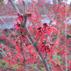 Hamamelis × intermedia  'Rubin' - Toverhazelaar