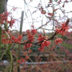 Hamamelis vernalis 'Lombarts Weeping' - Treurende toverhazelaar