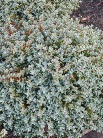 Hebe pinguifolia 'Pagei' - Struikveronica