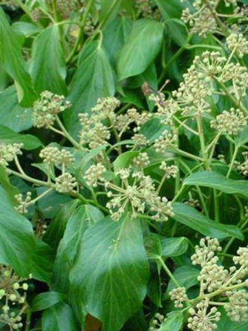 Hedera colchica 'Fall Favourite' - Kaukasische struikklimop