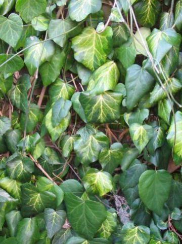 Hedera colchica 'Sulphur Heart' - Klimop