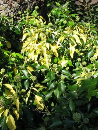 Hedera helix 'Angularis Aurea' - Struikklimop