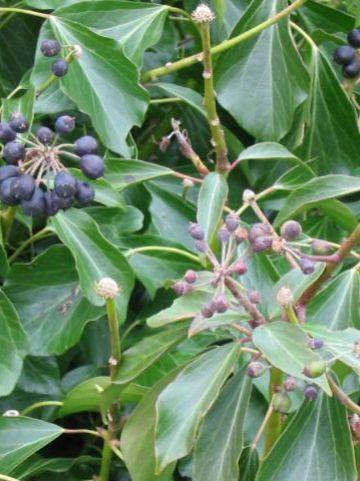 Hedera helix 'Arbori Purple' - Struikklimop