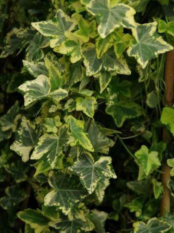 Hedera helix 'Golden Kolibri' - Bonte klimop