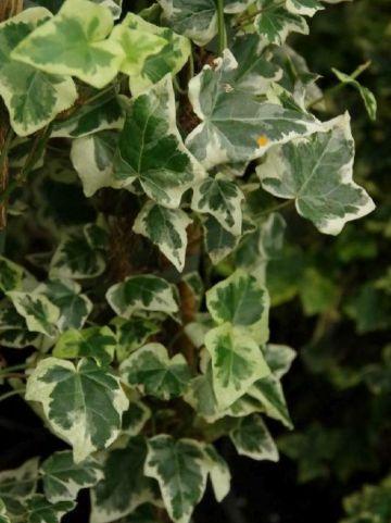 Hedera helix 'Marginata Elegantissima' - Bonte klimop