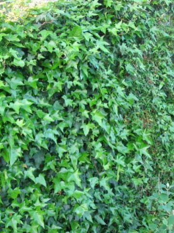 Hedera helix 'Sagittifolia' - Klimop