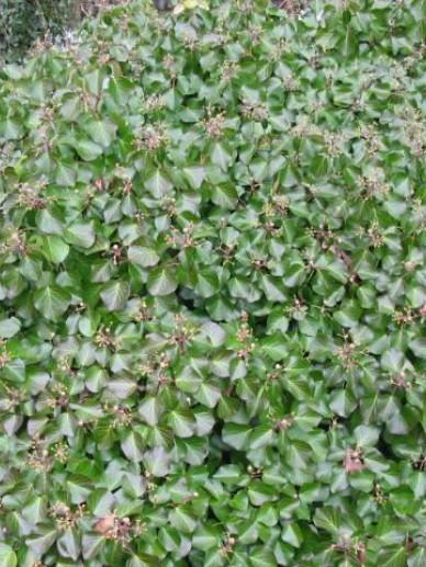 Hedera helix 'Arbori Compact' - Klimop, dwergstruik klimop
