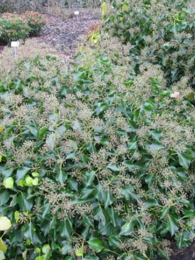 Hedera hibernica 'Irish Arborescent' - Struikklimop