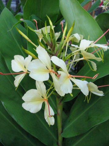 Hedychium  'Dixter' - Siergember