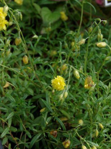 Helianthemum  'Sulphureum Plenum' - Zonneroosje