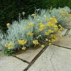 Helichrysum italicum - Kerriekruid