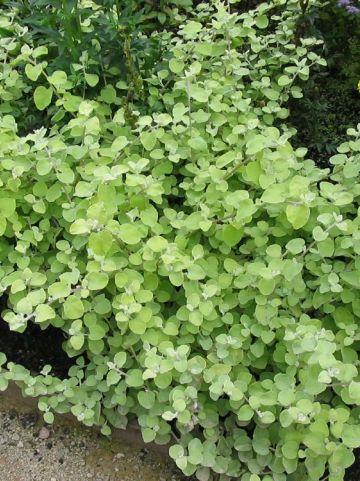 Helichrysum petiolare 'Limelight' -