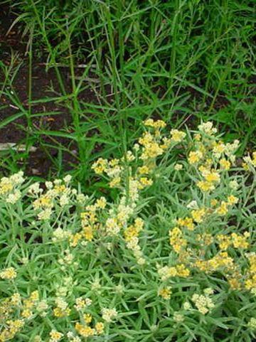 Helichrysum italicum 'Schwefellicht'  - Siberische edelweiss Strobloem, kerrieplant