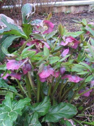 Helleborus purpurascens  - Nieskruid , Paarse Kerstroos