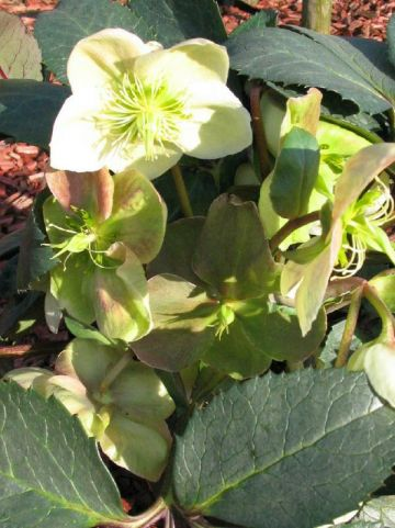 Helleborus  'Winter Moonbeam' - Lenteroos