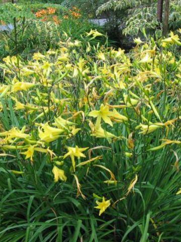 Hemerocallis citrina  - Daglelie