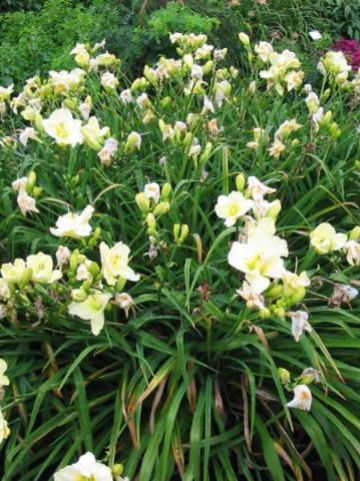 Hemerocallis  'Cool It' - Daglelie