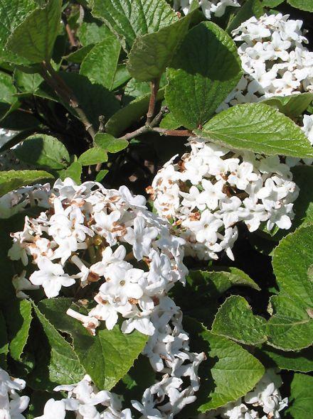 Viburnum carlesii (Sneeuwbal)