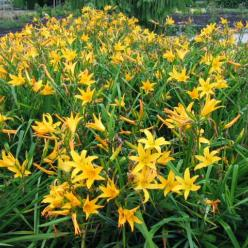 Hemerocallis  'Golden Scepter' - Daglelie
