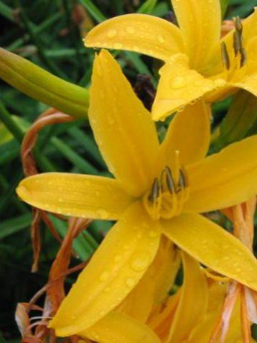 Hemerocallis  'Golden Scepter' - Daglelie