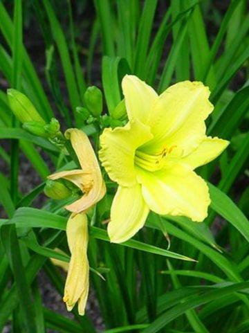 Hemerocallis 'Green Flutter' - Daglelie