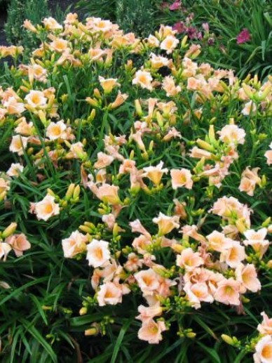 Hemerocallis  'Mini Pearl' - Daglelie