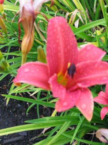 Hemerocallis  'Pink Damask' - Daglelie