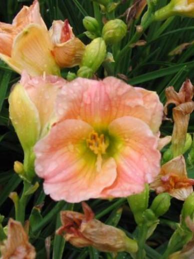 Hemerocallis  'Pink Puff' - Daglelie