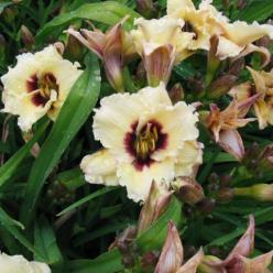 Hemerocallis  'Snowy Eyes' - Daglelie