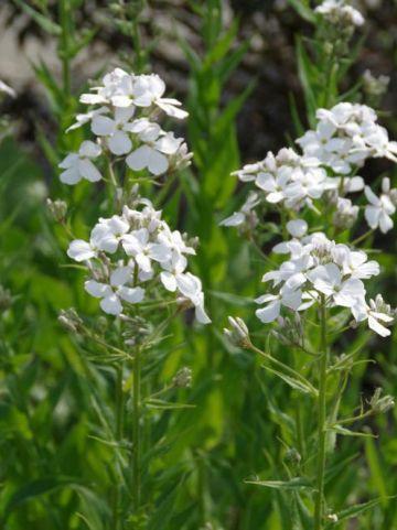 Hesperis matronalis 'Alba' - Witte damastbloem