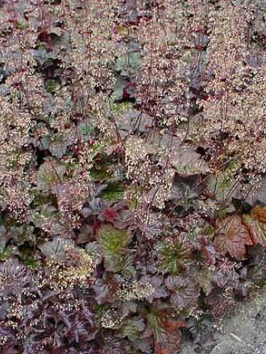 Heuchera micrantha 'Palace Purple' - Purperklokje